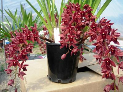 Cymbidium Orchids Retail Cymbidium Orchid Dorothy